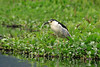 Black-crowned Night-Heron - perched in stalking mode, along the floating Water Hyancith (Eichhoria crassipes), which is native to the New World tropics.