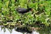 Common Gallinule (Gallinule galeata) - walking upon the floating water hyacinth, with its reflection upon the placid water surface of Laguna Oconal - Pasco department.