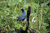 Purple Gallinule (Porphyrio martinicus) - dark purple/blue head, neck and underside - green tone plumage to the back, with a white under-tail - red beak tipped with yellow, and a pale blue forehead shield - and yellow legs and feet.  They grow to about 15 in. (38 cm) long, with a wingspan around 2 ft. (.6 m). Manu province - Madre de Dios department.