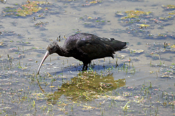 Puna Ibis - foraging in the near high-noon sunlight upon the fresh water in the high altitude of the Puno department.