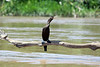 """Neotropic Cormorant - a pale green gular patch at the base of the bill with a white """"v"""" outline distinguishes them from similar species - Manu National Reserve."""