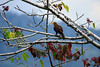 Russet-backed Oropendola - yellowish bill and reddish-brown tone plumage - Oxapampa province - Pasco department.