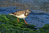 Ruddy Turnstone - foraging upon the marine kelp along the shoreline in the early morning sunlight.