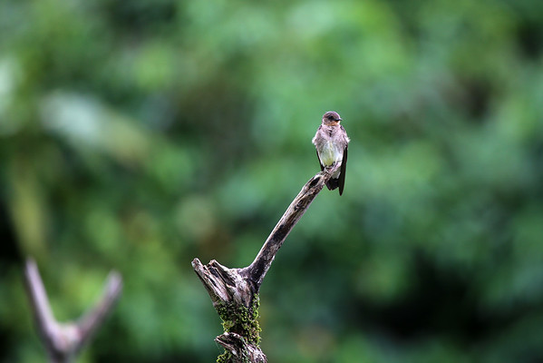 Southern Rough-winged Swallow (Stelgidopteryx ruficollis) - Manu province - Madre de Dios department.