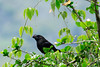 Smooth-billed Ani (Crotophaga ani) - this specimen along the eastern slope of the Andes, at about 5,600 ft. (1,700 m) - in the Cadena de Cerros de la Sal (Chain of Salt Hills) - in the southcentral Pasco department.