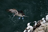 Blue-footed Booby - coming in for a landing along the slope of Punta Malabrigo, with the Pacific water below - La Libertad department.
