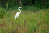 Great Egret - displaying its distinctive solid white plumage and large yellow beak, with its anatomically long neck and kinked S-curve shape (the sixth cervical vertebra is elongated and modified so that the upper part of the neck can easily be retracted or extended, making it a lethal fishing spear).