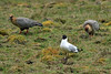 Andean Gull among the Andean Ibis - high altitude mountain grassland, here at about 14,400 ft. (4,390 m) - Concepcion province - Junin department.