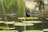 Purple Gallinule (upon the water-lily pad) - Common Gallinule (foraging upon the water) - Laguna Oconal - Pasco department.