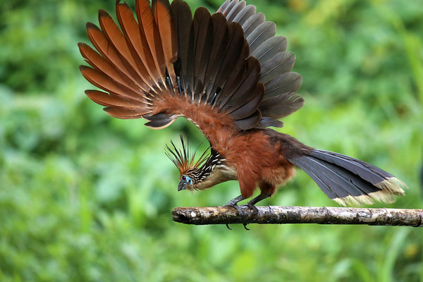 Hoatzin (Opisthocomus hazing) - displaying its primary and secondary flight feathers (quill and vanes) - Madre de Dios department - Peru.