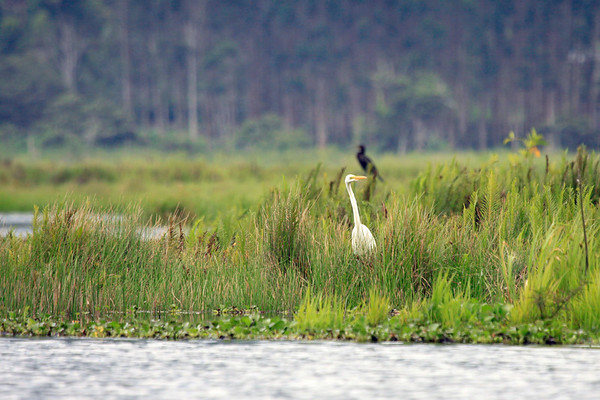 Great Egret - stalking fish along the edge of Laguna Oconal - with a perched Neotropic Cormorant beyond.