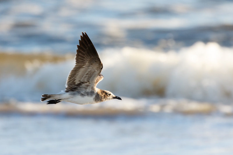Seagull in Flight-1188.jpg