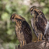 common black-hawk fledglings-7550
