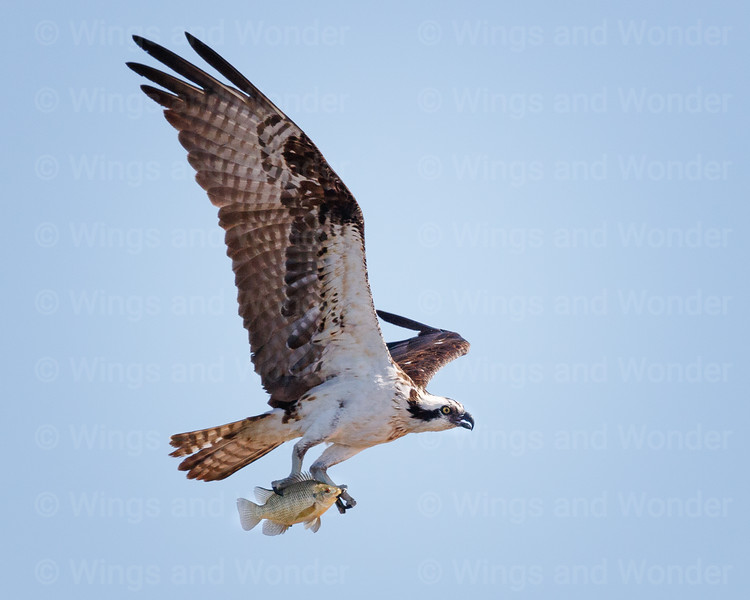Osprey with fish-3506-Edit-2