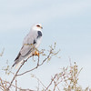 White-tailed Kite-8024