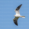 White-tailed Kite-9525