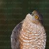 Sharp-shinned Hawk-9586-Edit-2