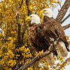 Bald Eagles-0803