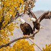 Bald Eagles-0757