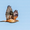 Ferruginous Hawk-6515