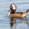Hooded Merganser-1584