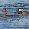 Hooded Mergansers-8273