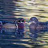 Wood Ducks lovey dovey-6310-Edit