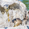 Black-crowned Night Heron-8706