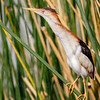 Least Bittern-2273-Edit