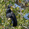 Double-crested Cormorant-0252