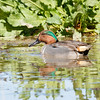 Green-winged Teal-2643