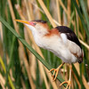 Least Bittern-2287-Edit-2-Edit