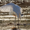 Great Egret-1148