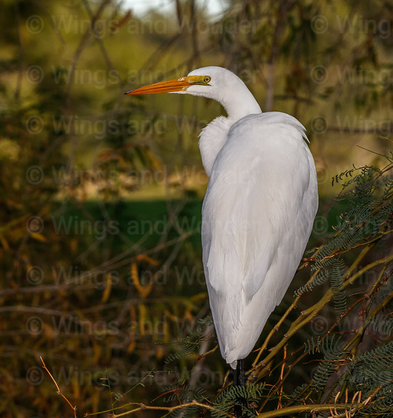 Great Egret-1050-Edit