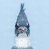 Belted Kingfisher-7495-Edit-2