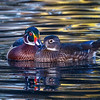 Wood Ducks lovey dovey 6308--2