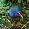 Purple Gallinule-7146