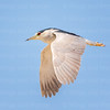 Black-crowned Night-Heron-3876-Edit