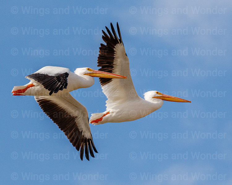 American White Pelicans 2X2-6390