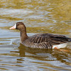 Greater White-fronted Goose-3673