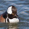 Hooded Merganser-1361-Edit