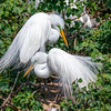 Great Egret pair - green lores-3558