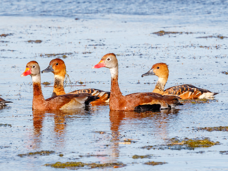 Black-bellied Whistling Duck and Fulvous Whistling Ducks-1273