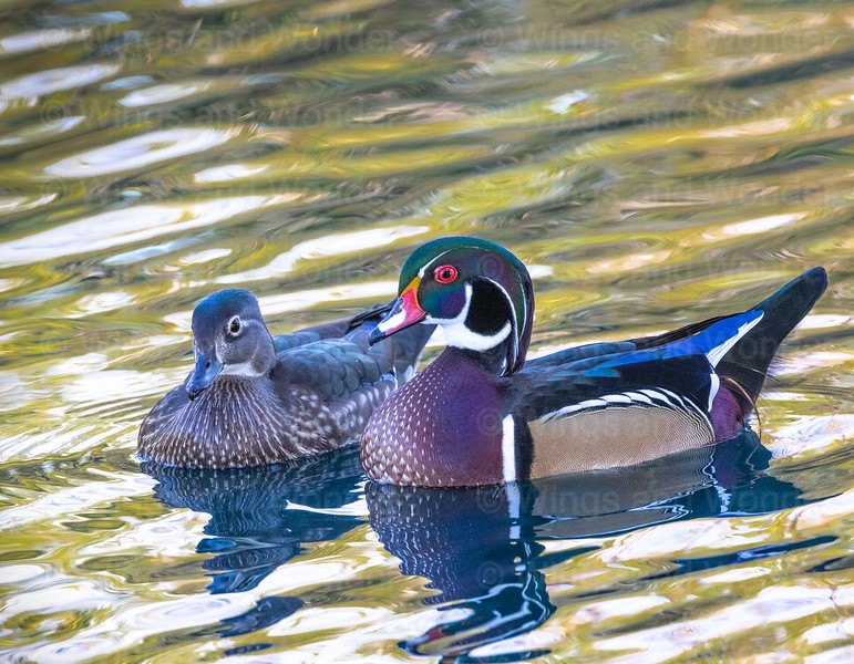 M-F Wood Ducks-5969-Edit