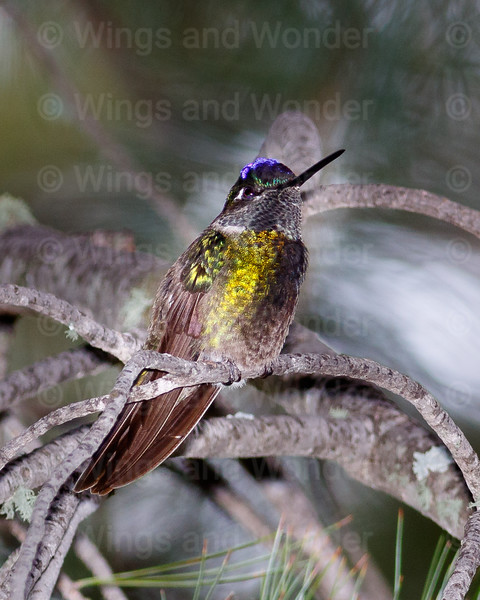 Magnificent Hummingbird-8668