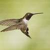 Black-chinned Hummingbird-8145