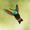 Magnificent Hummingbird-8139