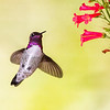 Costa's Hummingbird-0940