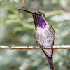 Lucifer Hummingbird-4302-Edit