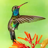Broad-billed Hummingbird-9153